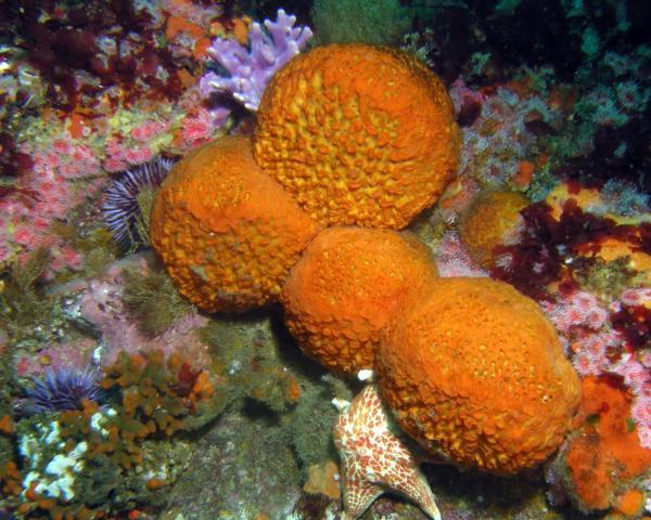 Esponja de mar: qué es y características - Reproducción de las esponjas de mar o esponjas marinas