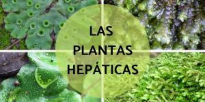 Plantas hepáticas: qué son, características, tipos y ejemplos