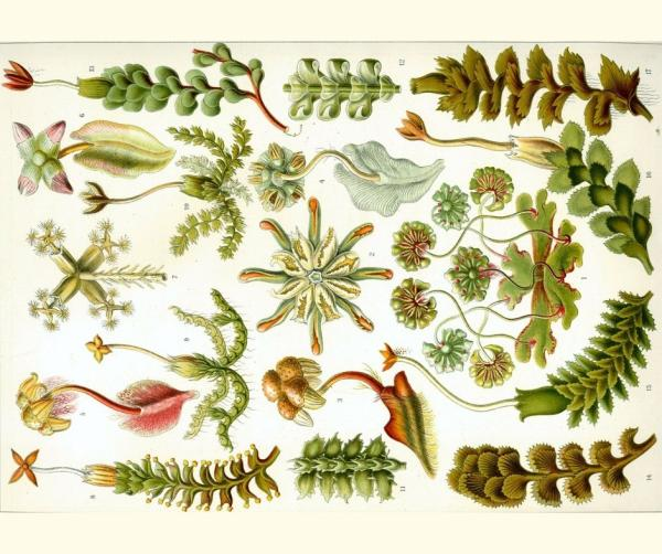 Plantas hepáticas: qué son, características, tipos y ejemplos - Qué son las plantas hepáticas - definición
