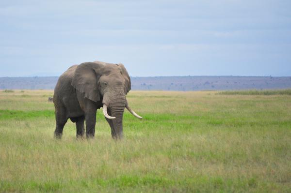Dónde viven los elefantes y de qué se alimentan - Tipos de elefantes: las dos especies vivas