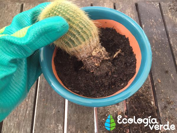 Trasplantar un cactus: cómo y cuándo hacerlo - Cómo trasplantar un cactus paso a paso