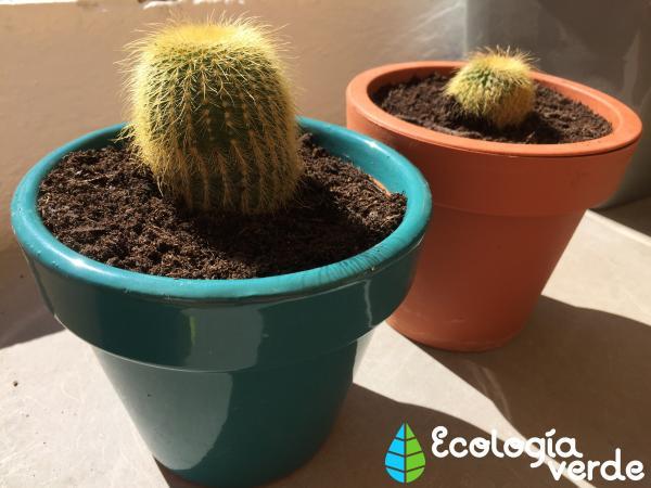 Trasplantar un cactus: cómo y cuándo hacerlo - Consejos para trasplantar un cactus