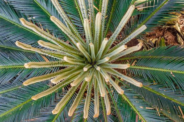 Palmeras de interior: nombres, características, cuidados y fotos - Archontophoenix alexandrae o palmera Alejandra