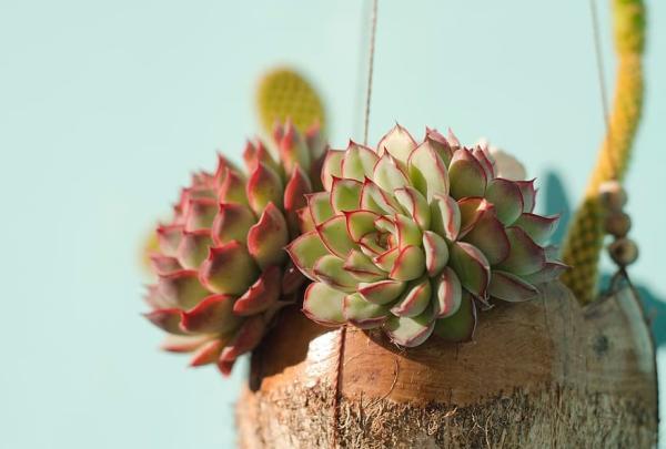 Planta echeveria: cuidados - Luz y ubicación