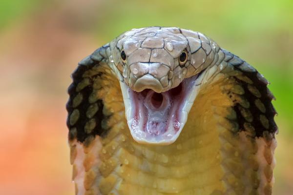 Animales más grandes del mundo - Cobra real