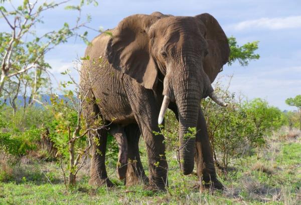 Animales más grandes del mundo - Elefante africano