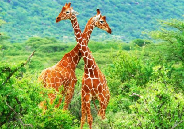 Animales más grandes del mundo - Jirafa
