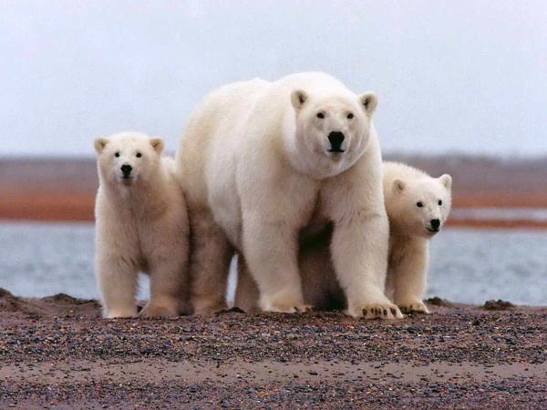 Animales más grandes del mundo - Oso polar
