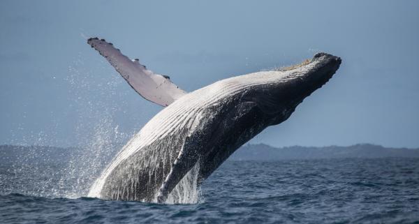 Animales más grandes del mundo - Rorcual común