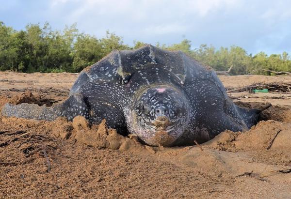 Animales más grandes del mundo - Tortuga laúd