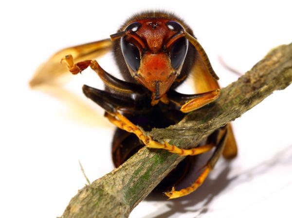 Avispa asiática: cómo es, nido y picadura - Cómo es la avispa asiática