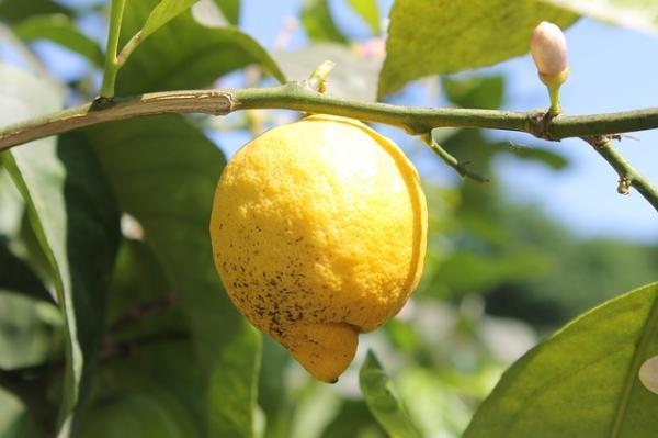 Cómo eliminar una plaga en un árbol de limón