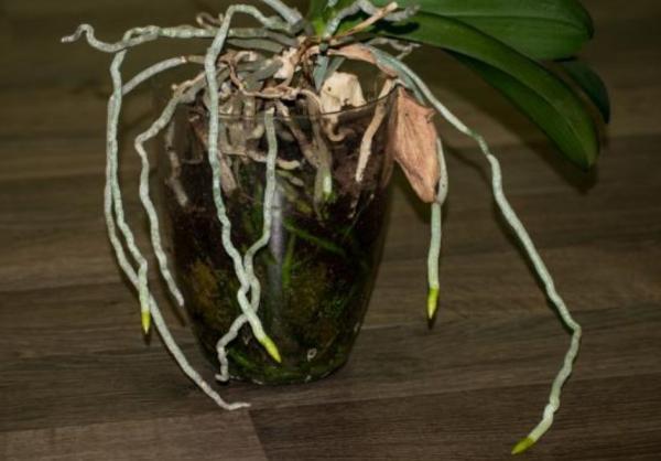 Cómo revivir una orquídea - Cómo revivir una orquídea ahogada