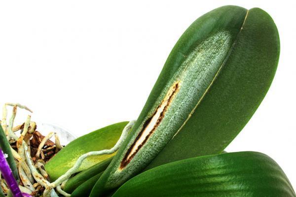Cómo revivir una orquídea - Cómo revivir una orquídea seca
