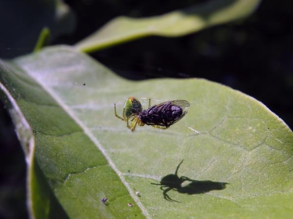 La importancia de las moscas - Las moscas son alimento para insectívoros