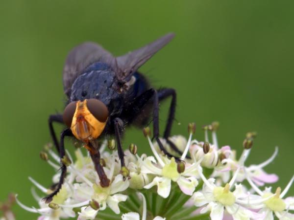 La importancia de las moscas - Por qué las moscas son importantes para el medio ambiente