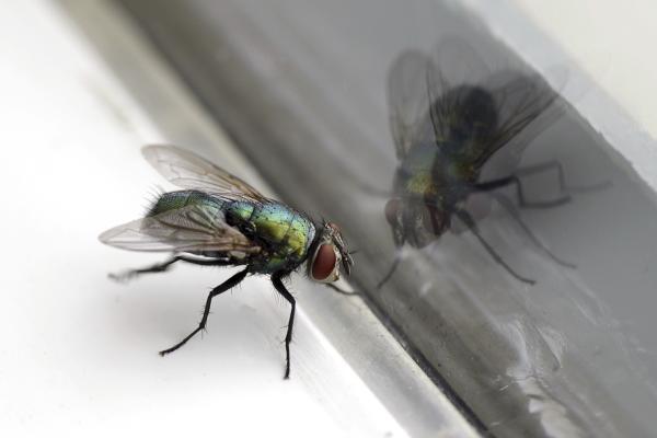 La importancia de las moscas - Taxonomía de la mosca doméstica
