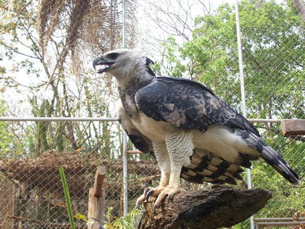 22 animales en peligro de extinción en Panamá - Águila harpía (Harpia harpyja)