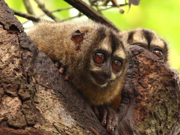 22 animales en peligro de extinción en Panamá - Mico nocturno panameño (Aotus zonalis)