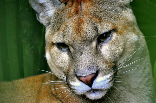 22 animales en peligro de extinción en Panamá - Puma centroamericano (Puma concolor costaricensis)