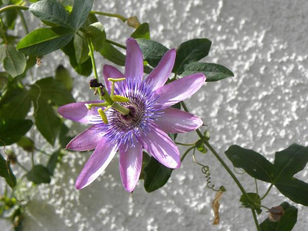 Nombres de las flores más exóticas del mundo - Pasiflora