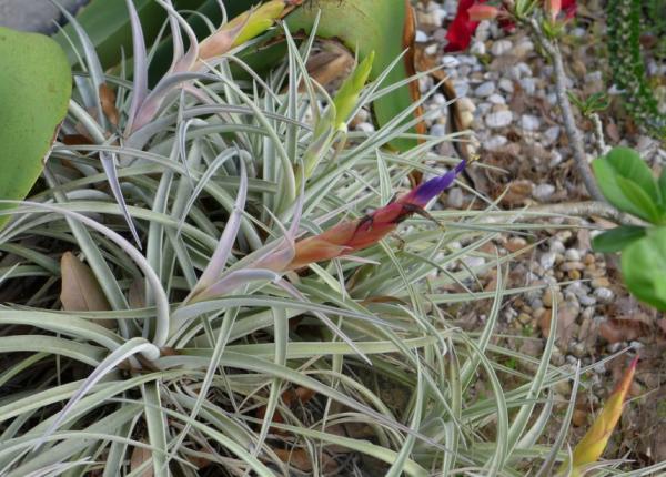 Plantas en peligro de extinción en Guatemala - Gallito