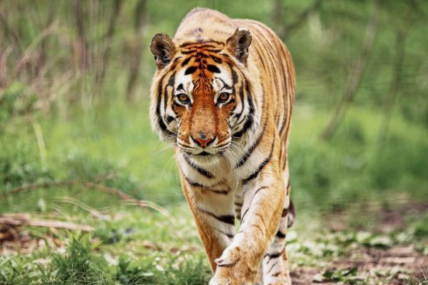 Animales en mayor peligro de extinción en Asia - Tigre de bengala