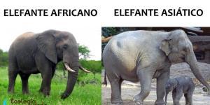 Cuáles son las diferencias entre elefantes africanos y asiáticos