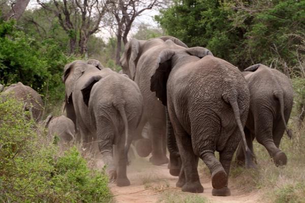 Cuáles son las diferencias entre elefantes africanos y asiáticos - Las patas y la cola de los elefantes asiáticos y africanos