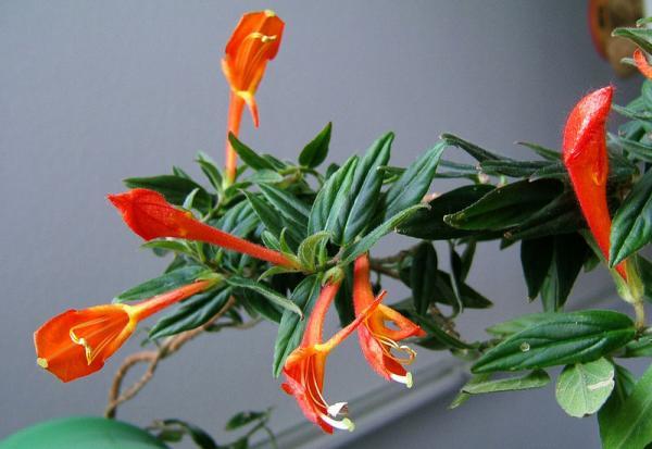 29 plantas colgantes de interior - Columnea, una curiosa planta colgante para interior