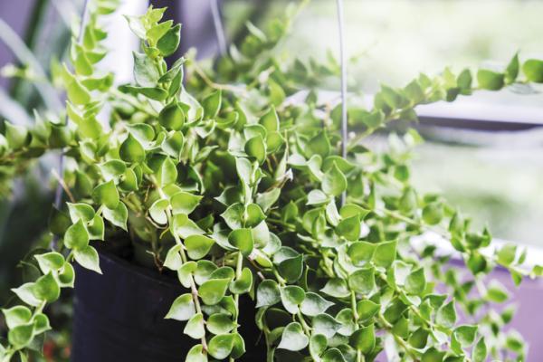 29 plantas colgantes de interior - Dischidia