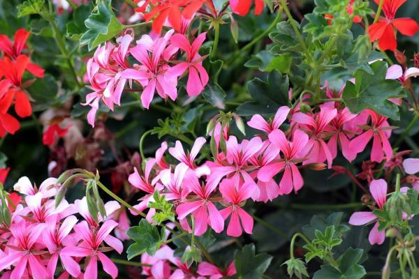 29 plantas colgantes de interior - Geranios colgantes