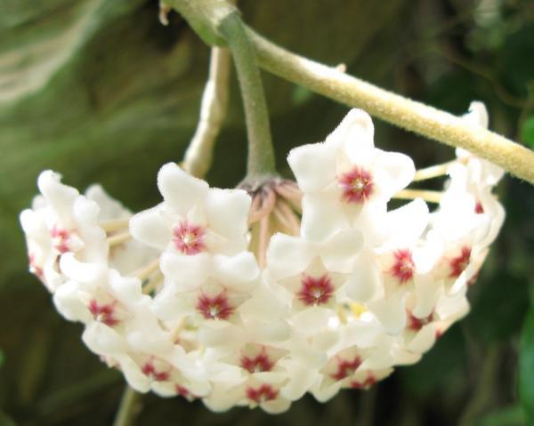 29 plantas colgantes de interior - Hoya linearis