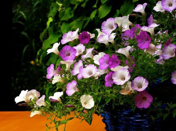 29 plantas colgantes de interior - Petunias