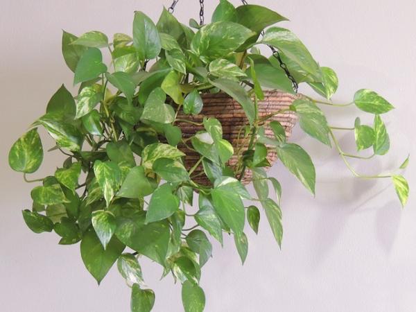 29 plantas colgantes de interior - Pothus, unas de las plantas colgantes más conocidas