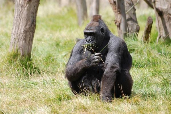 Animales en peligro de extinción - El gorila de montaña