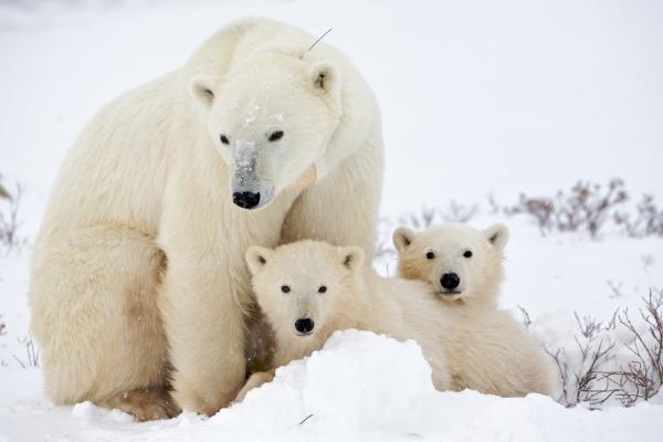 Animales en peligro de extinción - El oso blanco u oso polar en peligro de extinción