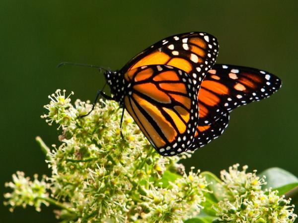 Animales en peligro de extinción - Mariposas monarca, cerca de la extinción