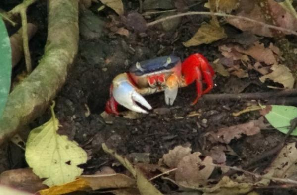 Animales que viven en madrigueras - Cangrejo sin boca