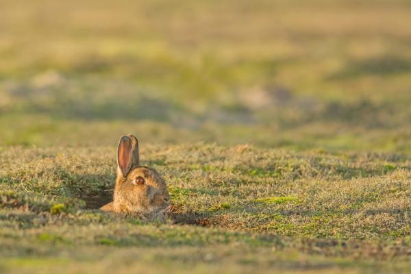 Animales que viven en madrigueras - Conejo europeo