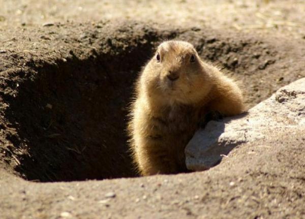 Animales que viven en madrigueras - Marmota