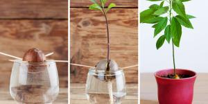 Cómo plantar un aguacate