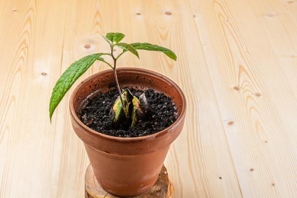 Cómo plantar un aguacate - Cómo plantar un aguacate en maceta paso a paso