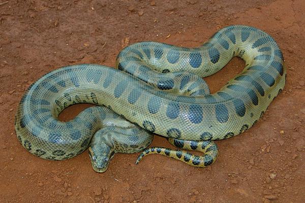 +30 animales del Amazonas - Anaconda verde (Eunectes murinus)
