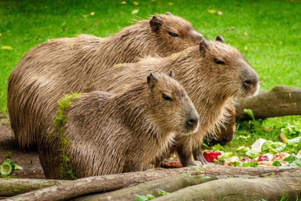 +30 animales del Amazonas - Capibara (Hydrochaeris hydrochaeris)