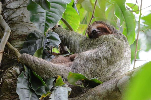 +30 animales del Amazonas - Perezoso (Bradypus tridactylus)