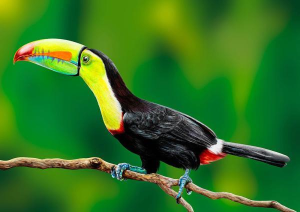 +30 animales del Amazonas - Tucanes (Familia Ramphastidae), unos de los animales del Amazonas más conocidos