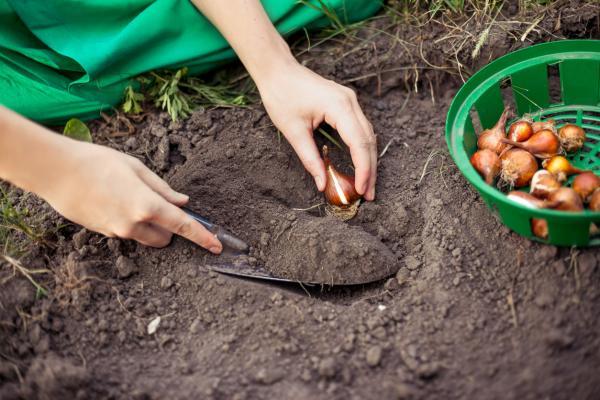 Cómo plantar tulipanes - Cómo plantar tulipanes paso a paso