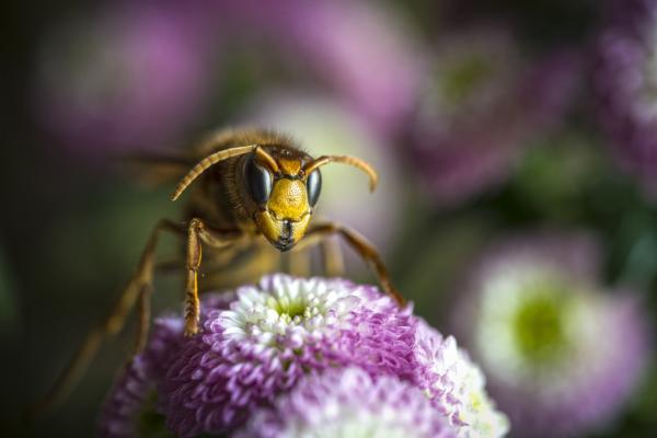 Para qué sirven las avispas - Función polinizadora de las avispas