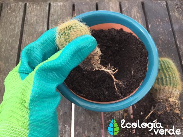 Plantar cactus: cómo hacerlo